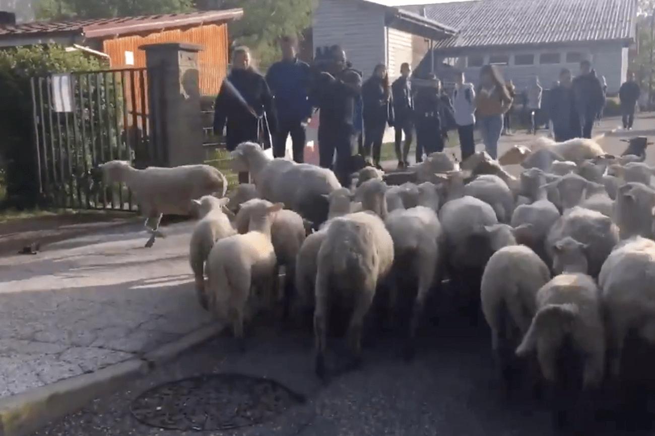 bárányok iskolában francia juhász bárányok