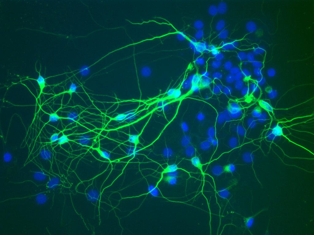 egér cortex idegsejt
