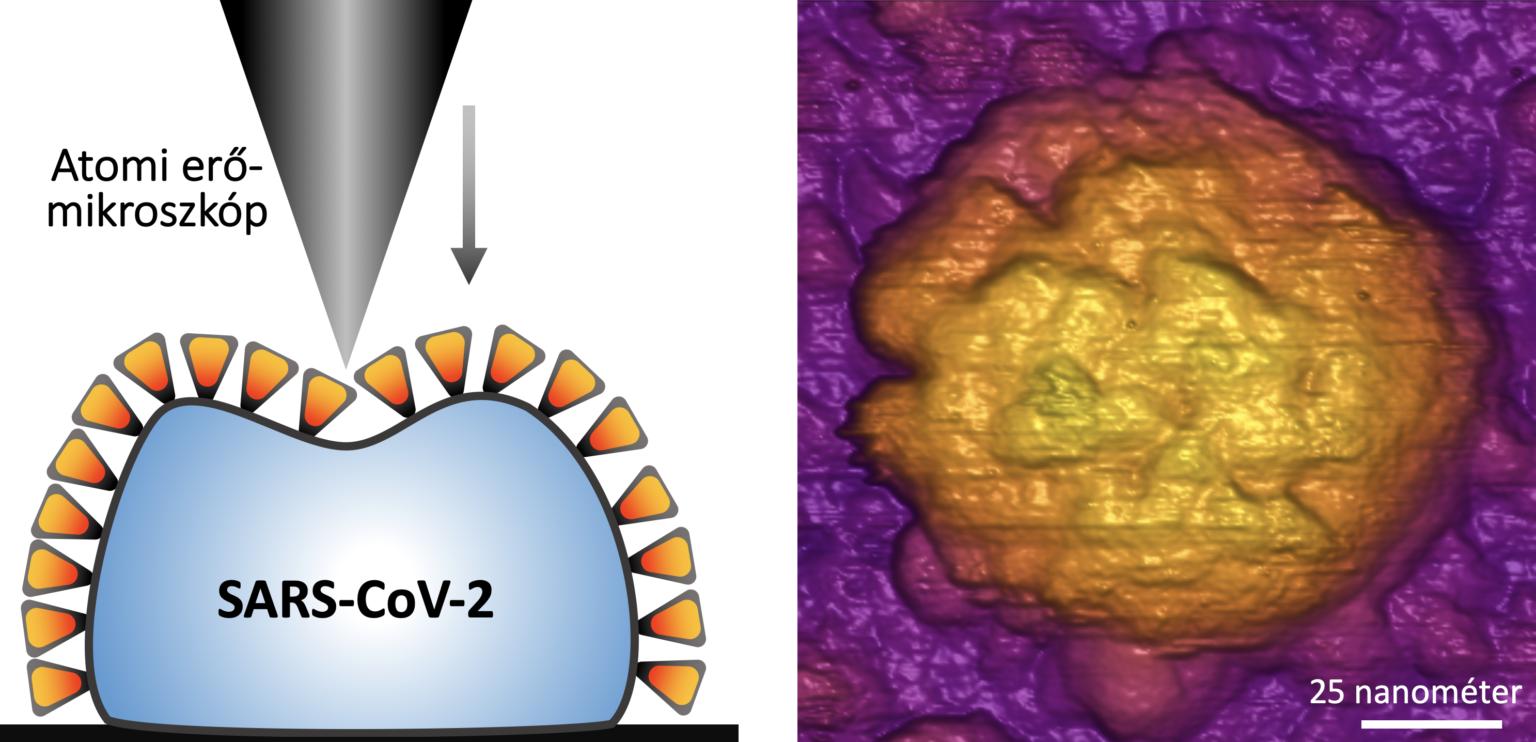 koronavirus hoallo szerkezete semmelweis egyetem