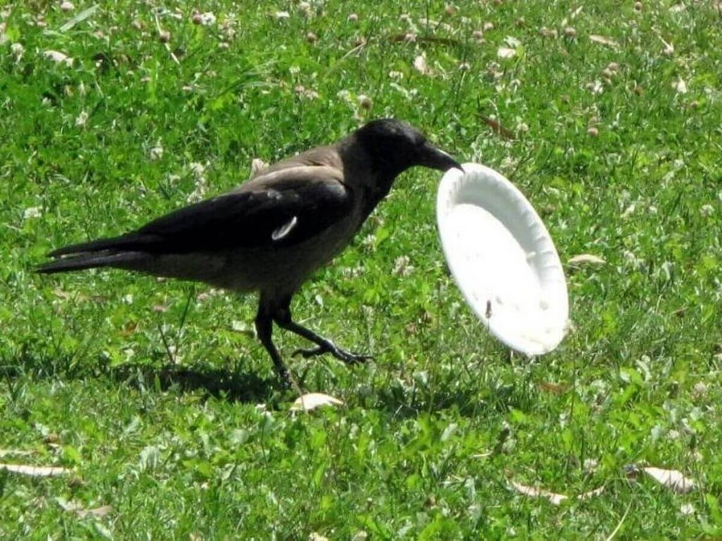 0 Intelligent crows to pick up litter at French theme park