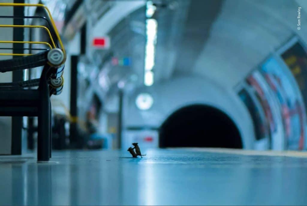 verekedes egerek metro