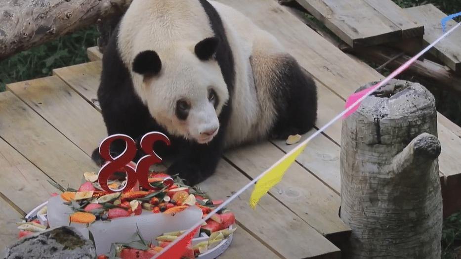 Hszinhszing kinai panda kipusztult allatkert