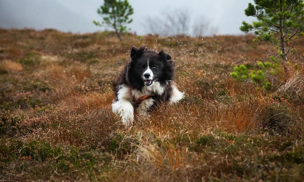 border collie mentokutya kutya skocia hegyek futas ret nap fotoja