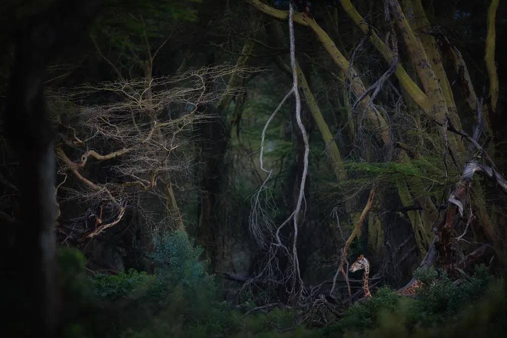 Kenya Zsiraf Termeszetfoto Roberto Marchegiani Nap Fotoja