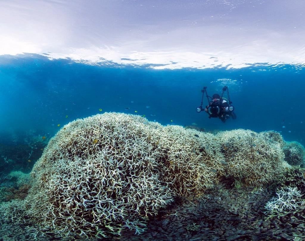 korallfeheredes