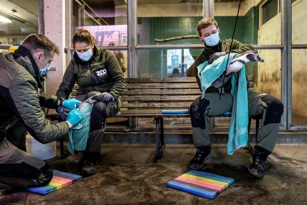Pingvin Vakcina Madarinfluenza Oltas Dania Nap Fotoja