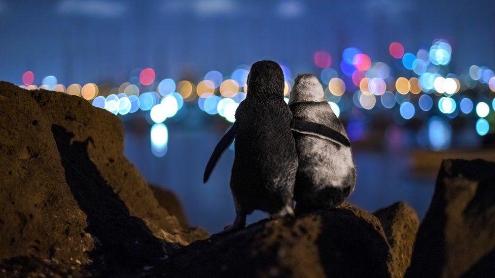 pingvinek foto