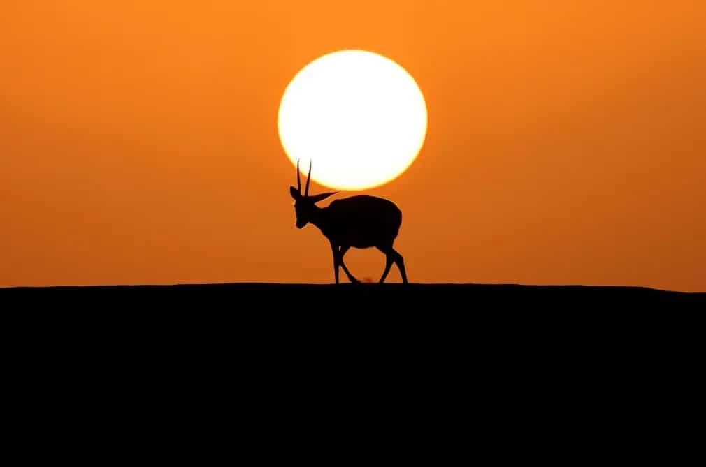 abu dhabi arab arnyek gazella nap fotoja