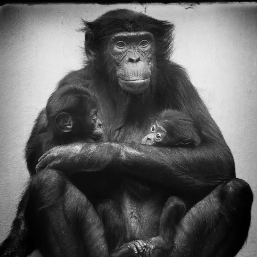 Emlos Bonobo Wuppertal Allatkert Nap Fotoja