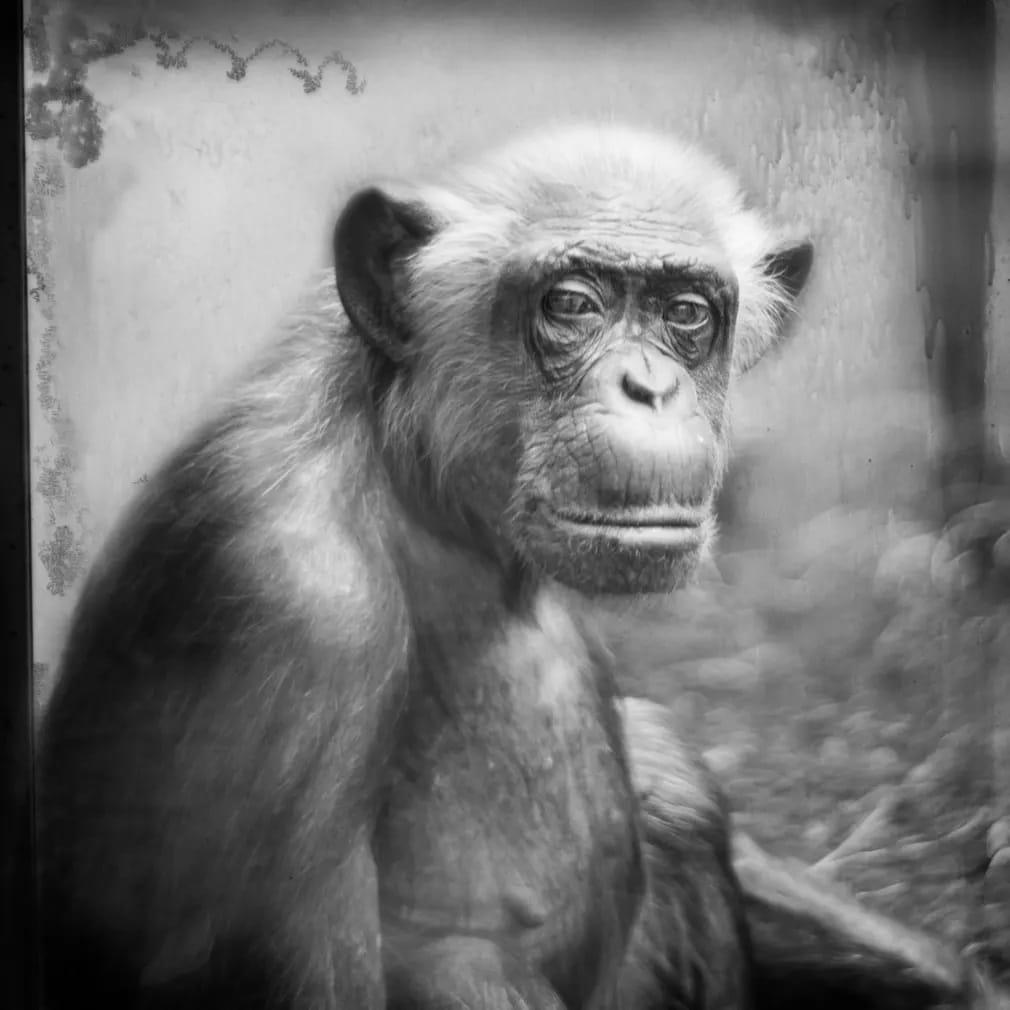 emlos csimpanz heidelberg allatkert emberszabasu nap fotoja