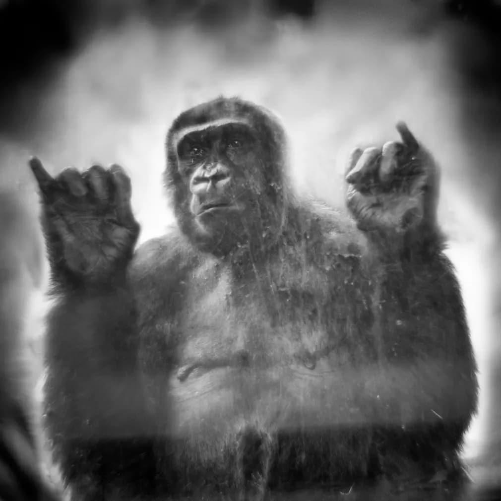 emlos gorilla krefeld allatkert nap fotoja