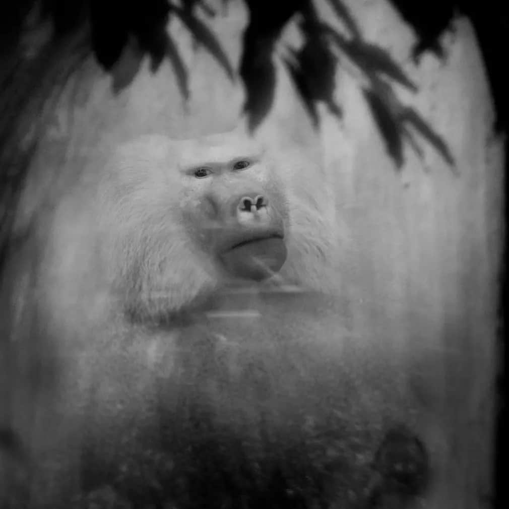 emlos pavian antwerpen allatkert nap fotoja