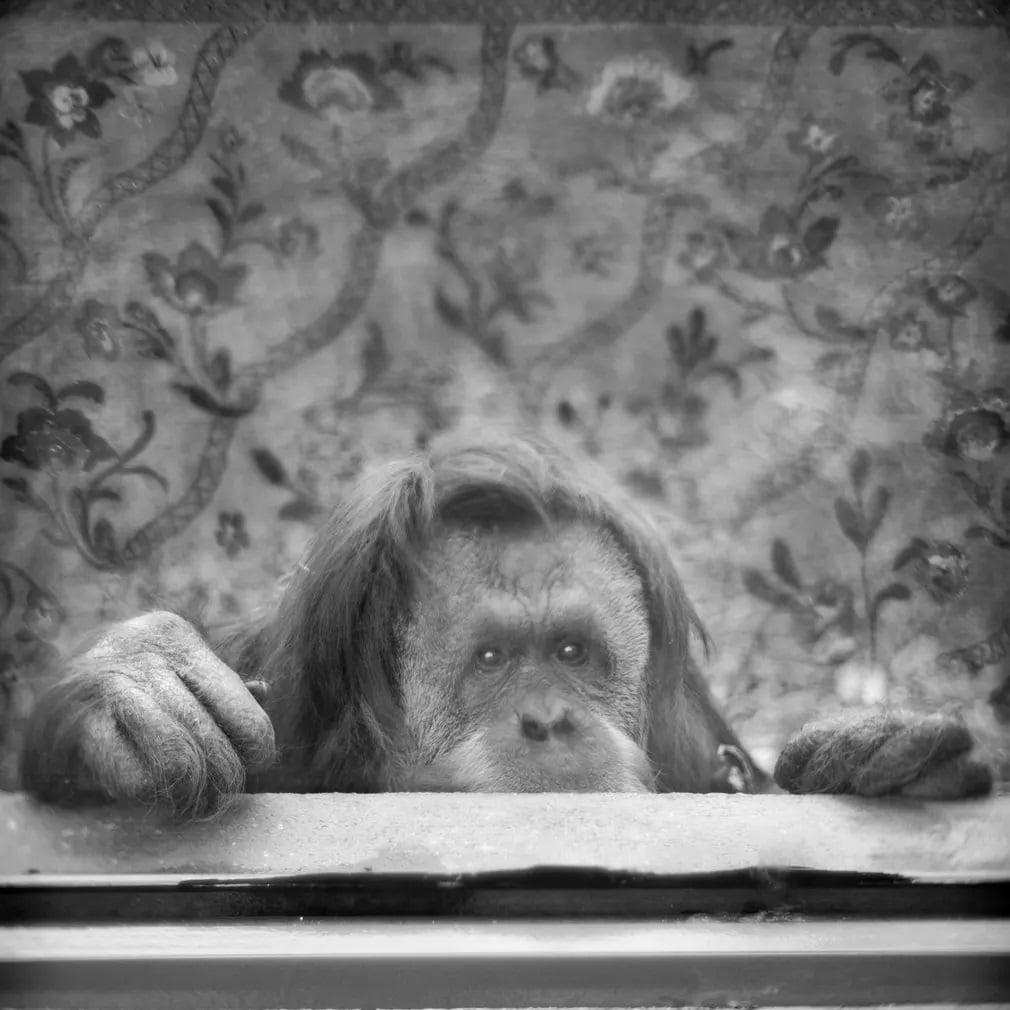 Emlos Szumatrai Orangutan Roma Allatkert Nap Fotoja