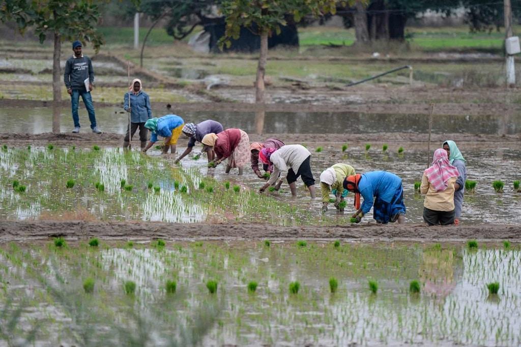 india rizsfold rizs ultetveny