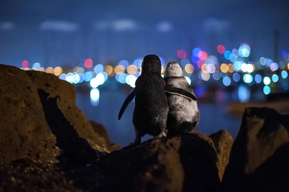 Pingvin Par Kilatas Ocean Tobias Baumgaertner Nap Fotoja