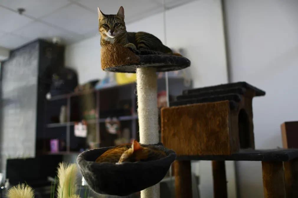 Dubaj, Ailuromania Cat Cafe, macsa, cica, kavezo, egyesult, arab emirsegek, orokbefogadas, alvas, nap fotoja
