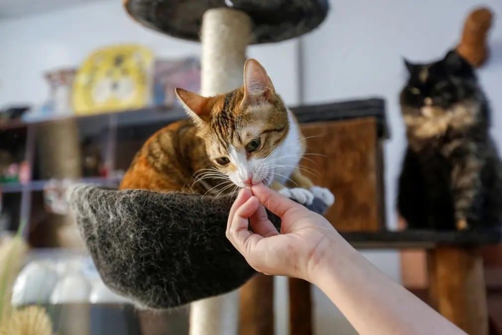 Dubaj, Ailuromania Cat Cafe, macsa, cica, kavezo, egyesult, arab emirsegek, orokbefogadas, etetes, nap fotoja