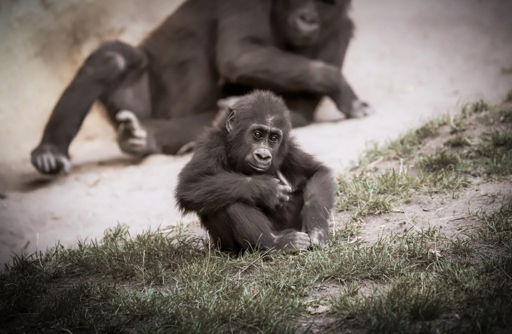 Allatmentes Allatvedelem Fogsagban Szuletett Gorillak Gorilla