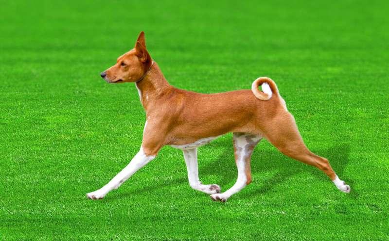 basenji osi kutyafajta genom vizsgalat