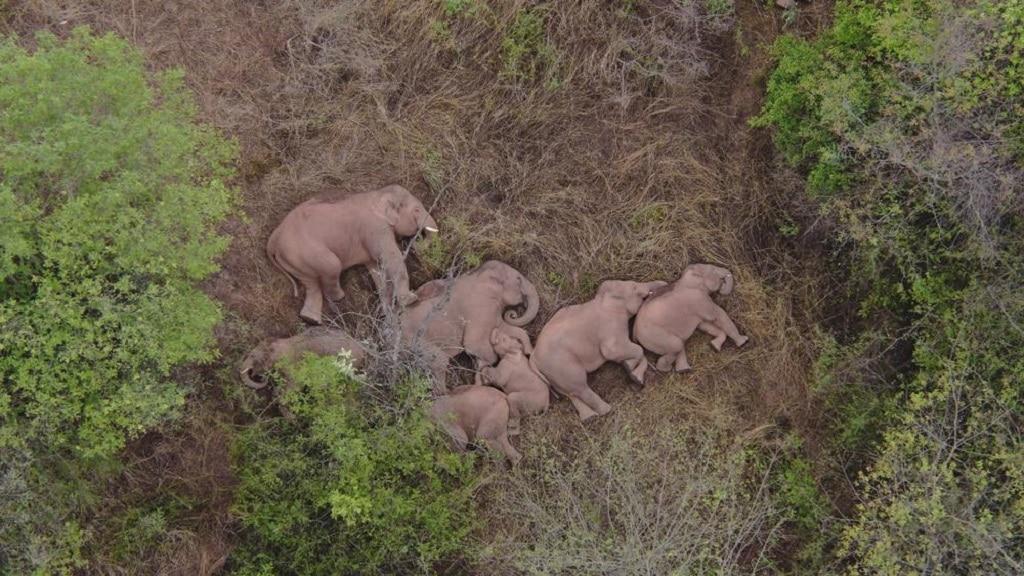 Elefant Csorda Vandorlas Kina
