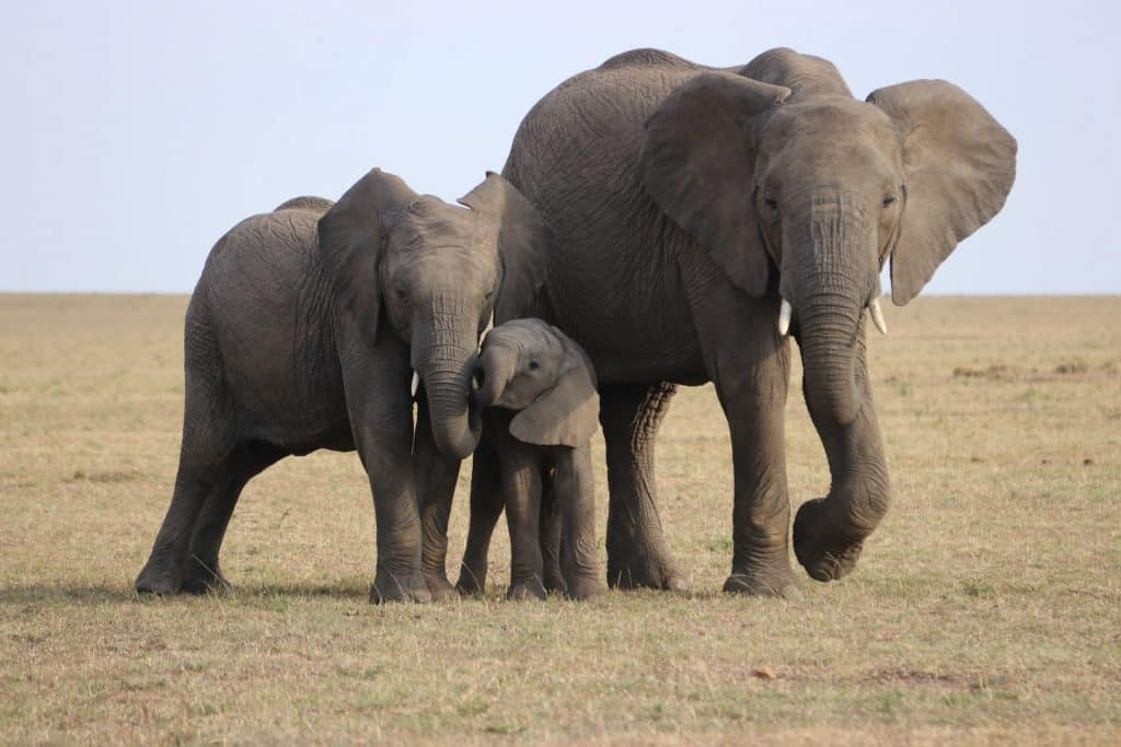 Elefant Elefantcsorda Visszavaditas